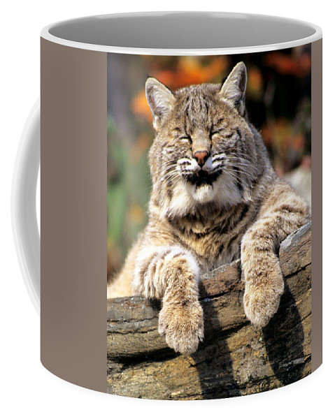 Bobcat Coffee Mug featuring the photograph Bobcat Snoozes In The Sun by Larry Allan