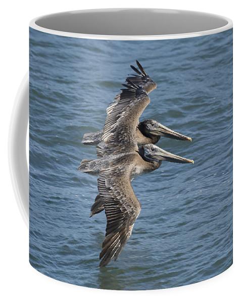 00429742 Coffee Mug featuring the photograph Brown Pelican Juveniles Flying Santa by Sebastian Kennerknecht