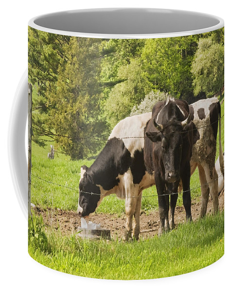 Cow Coffee Mug featuring the photograph Bull And Cows Grazing On Grass In Farm Maine by Keith Webber Jr