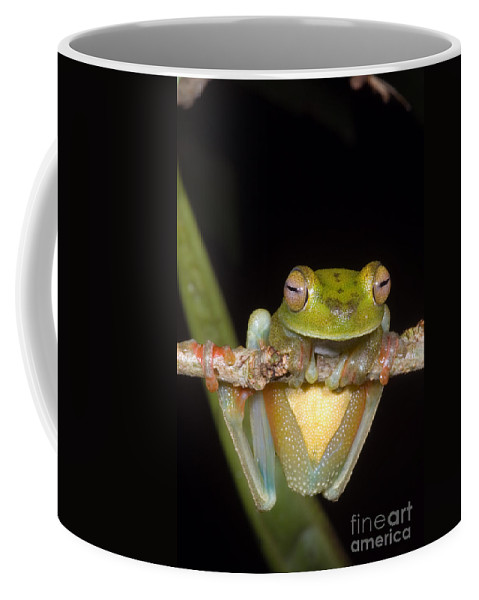 Hyla Coffee Mug featuring the photograph Canal Zone Tree Frog by Dante Fenolio