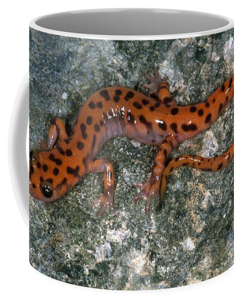 Cave Salamander Coffee Mug featuring the photograph Cave Salamander by Dante Fenolio
