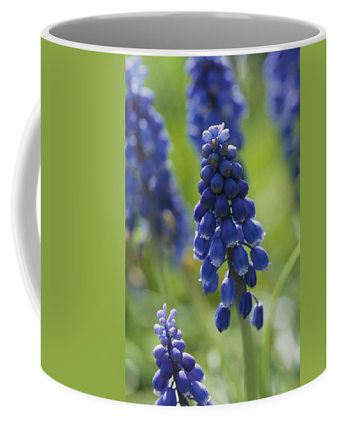 Scenes And Views Coffee Mug featuring the photograph Close View Of Grape Hyacinth Flowers by Darlyne A. Murawski