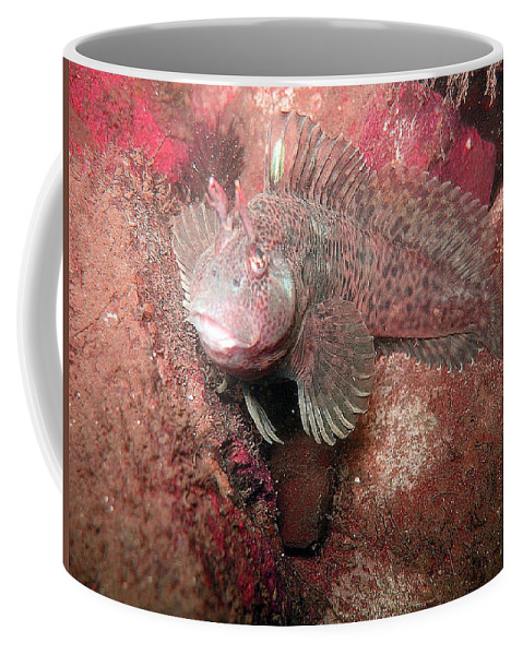 Female Feather Blenny Coffee Mug featuring the photograph Feather Blenny Female by Paul Ward