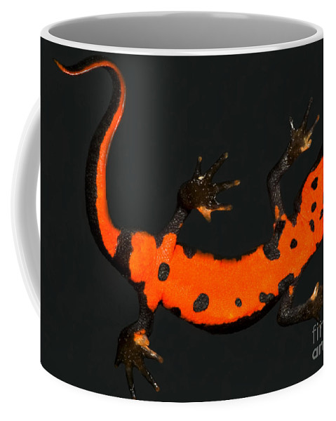 Aposematic Coffee Mug featuring the photograph Fire Belly Newt by Dante Fenolio