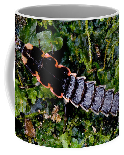 Chilean Firefly Coffee Mug featuring the photograph Firefly Larva by Dant� Fenolio