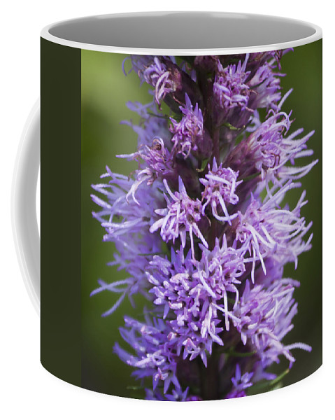 Gayfeather Coffee Mug featuring the photograph Gayfeather Squared by Teresa Mucha
