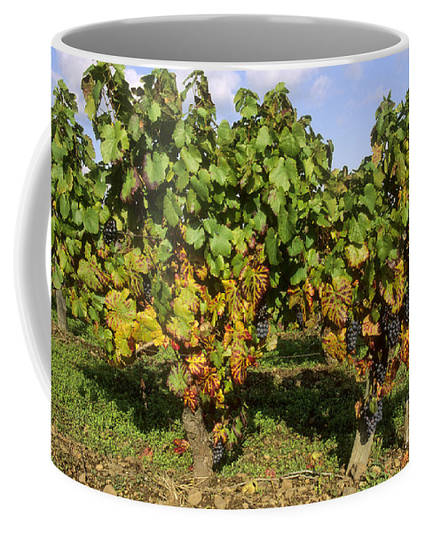 Winegrowing Coffee Mug featuring the photograph Grapes Growing On Vine by Bernard Jaubert