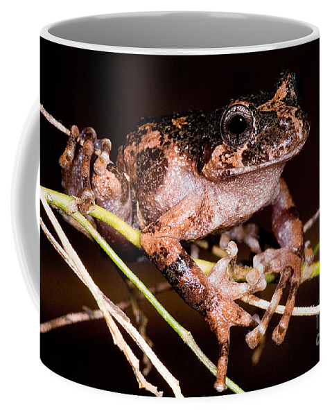 Batrachyla Leptopus Coffee Mug featuring the photograph Gray Wood Frog by Dant� Fenolio