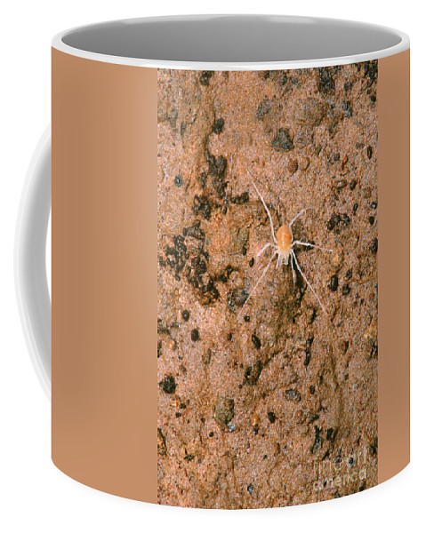 Animal Coffee Mug featuring the photograph Harvestman Crosbyella Sp. In Cave by Dante Fenolio