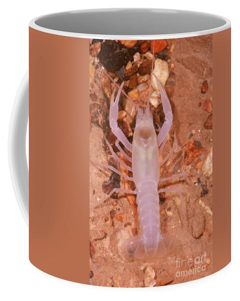 Animal Coffee Mug featuring the photograph January River Blind Crayfish by Dante Fenolio