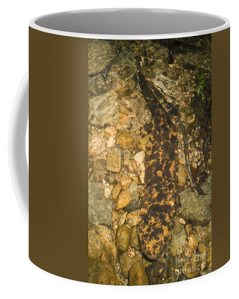 Andrias Japonicus Coffee Mug featuring the photograph Japanese Giant Salamander by Dante Fenolio