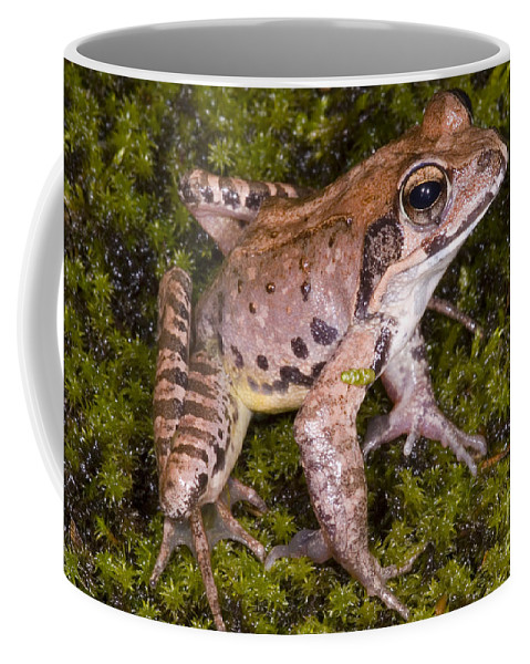 Rana Japonica Coffee Mug featuring the photograph Japanese Ranid Frog by Dante Fenolio