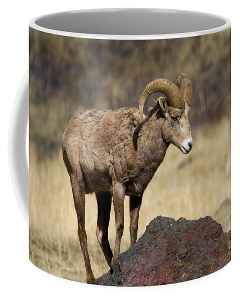Bighorn Coffee Mug featuring the photograph King Of The Rock by Mike Dawson