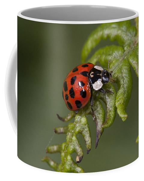 Coleoptera Coffee Mug featuring the photograph Ladybug by Bob Kemp