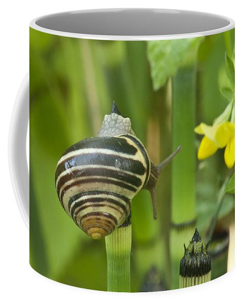 Snail Coffee Mug featuring the photograph Land Snail 5698 by Michael Peychich