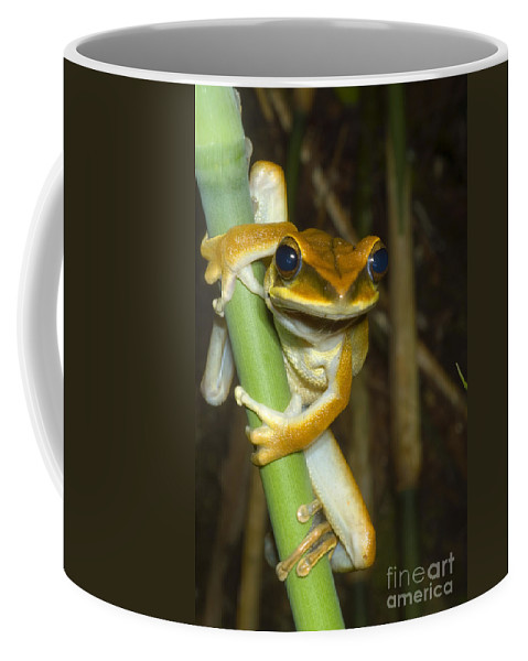 Treefrog Coffee Mug featuring the photograph Large Arboreal Hylid Frog by Dante Fenolio