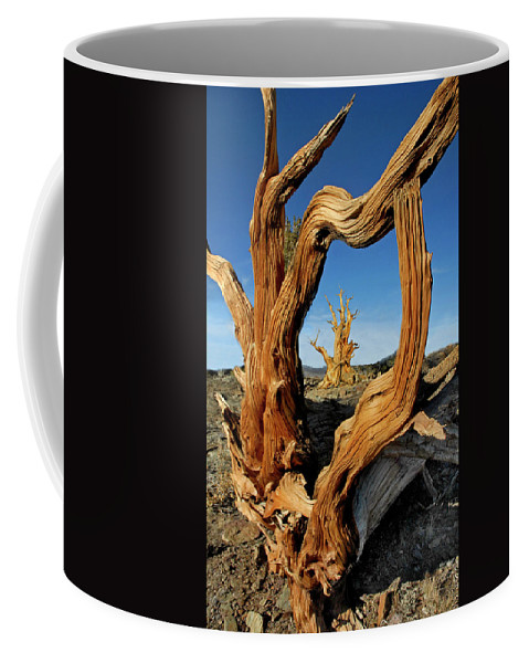 Bristlecone Pine Coffee Mug featuring the photograph Looking Through A Bristlecone Pine by Dave Mills