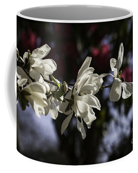 Clare Bambers Coffee Mug featuring the photograph Magnolia Blossoms. by Clare Bambers