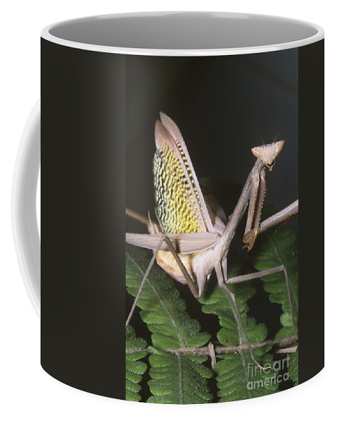 Fauna Coffee Mug featuring the photograph Mantid Defensive Display by Dante Fenolio