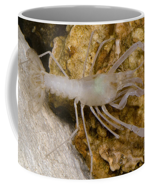 Stygobitic Coffee Mug featuring the photograph Mclanes Cave Crayfish by Dante Fenolio