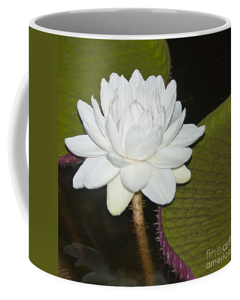 Victoria Coffee Mug featuring the photograph Nocturnal Blossom Of Victoria Lily by Heiko Koehrer-Wagner