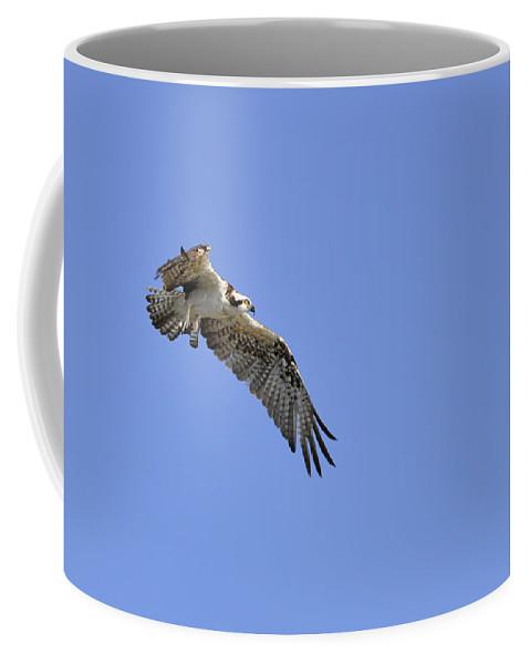 Osprey Coffee Mug featuring the photograph Osprey in Flight by Christine Stonebridge