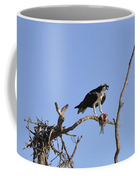 Osprey Coffee Mug featuring the photograph Osprey With Catch I by Christine Stonebridge