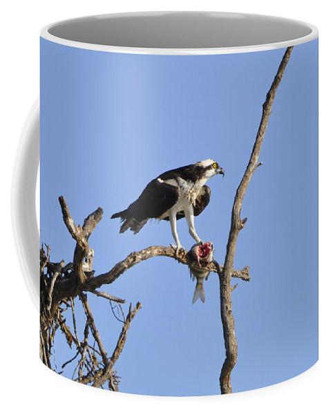 Osprey Coffee Mug featuring the photograph Osprey With Catch II by Christine Stonebridge