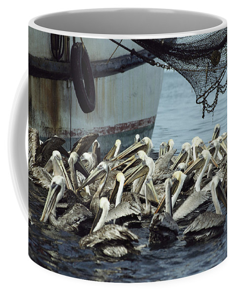 Central America Coffee Mug featuring the photograph Pelicans Float In Water Near A Shrimp by Bill Curtsinger