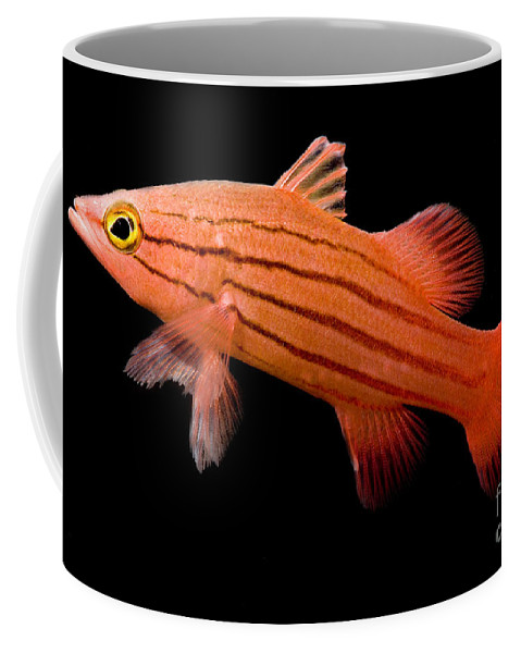 Swiss Guard Basslet Coffee Mug featuring the photograph Peppermint Basslet by Dant� Fenolio