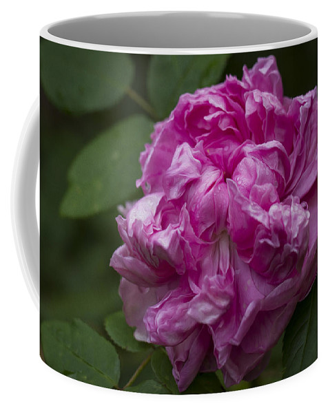 Clare Bambers Coffee Mug featuring the photograph Pink English Rose by Clare Bambers