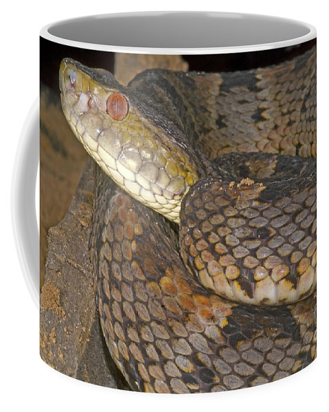 Bothrops Coffee Mug featuring the photograph Pit Viper by Dante Fenolio