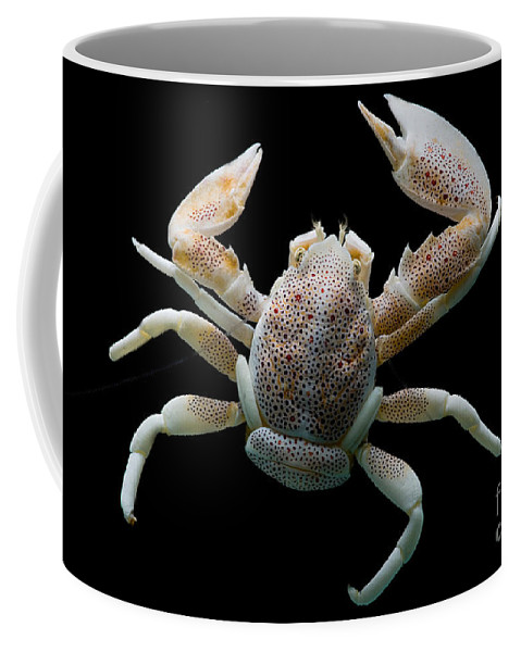 Neopetrolisthes Maculosus Coffee Mug featuring the photograph Porcelain Crab by Dant� Fenolio