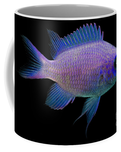 Purple Reeffish Coffee Mug featuring the photograph Purple Chromis by Dant� Fenolio