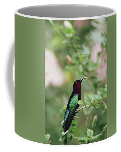 Mp Coffee Mug featuring the photograph Purple-throated Carib Eulampis by Gerry Ellis