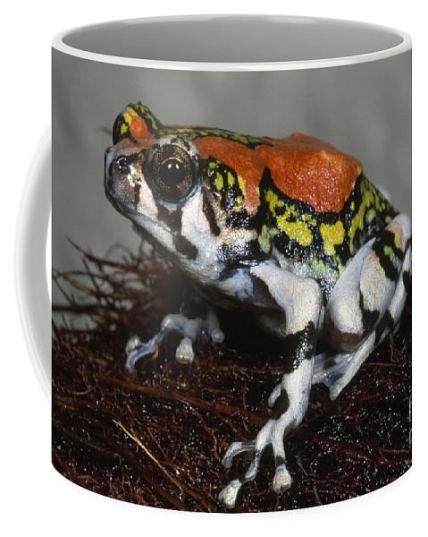 Fauna Coffee Mug featuring the photograph Red Rain Frog by Dante Fenolio