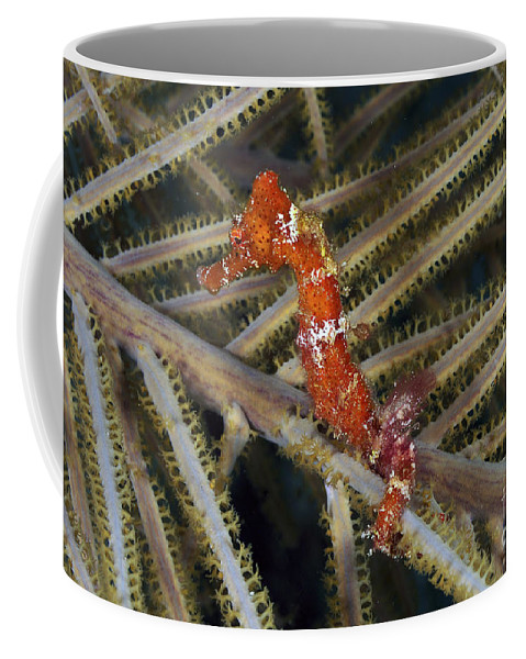 Red Seahorse Coffee Mug featuring the photograph Red Seahorse On Caribbean Reef by Karen Doody