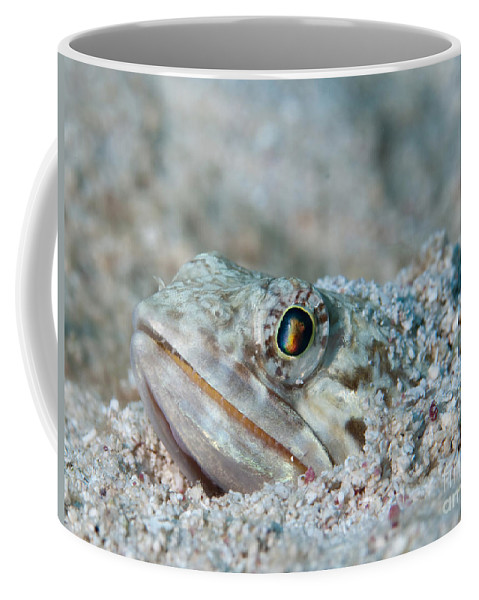Sand Diver Coffee Mug featuring the photograph Sand Diver Hiding Below Sand by Karen Doody