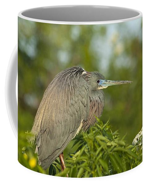 Egretta Tricolor Coffee Mug featuring the photograph Sitting Pretty by Carolyn Marshall