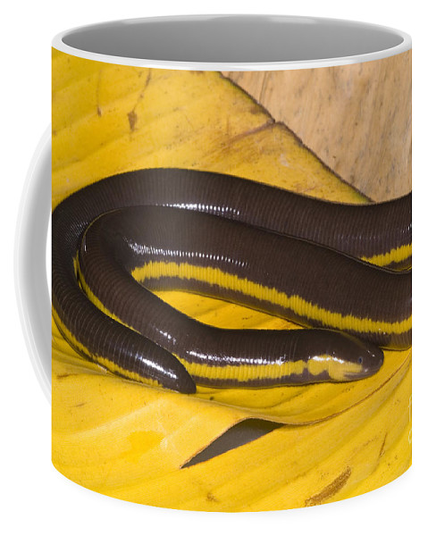 Ichthyophis Kohtaoensis Coffee Mug featuring the photograph Southeast Asian Caecilian by Dante Fenolio