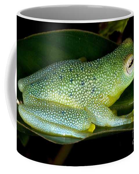 Centrolenidae Coffee Mug featuring the photograph Spiny Glass Frog by Dante Fenolio
