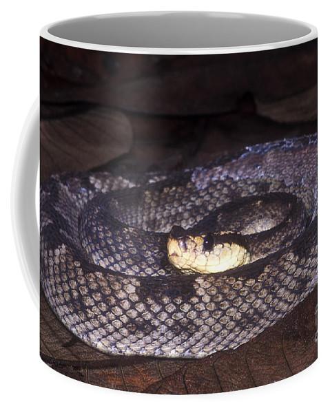 St. Lucia Pit Viper Coffee Mug featuring the photograph St. Lucia Pit Viper by Dante Fenolio