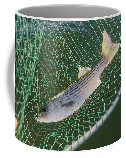Carcasses Coffee Mug featuring the photograph Striped Bass In Net. The Fish by Skip Brown