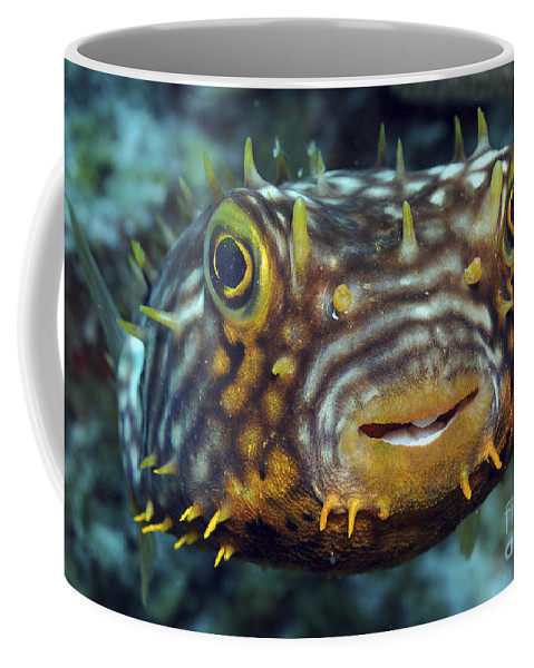 Eyes Coffee Mug featuring the photograph Striped Burrfish On Caribbean Reef by Karen Doody