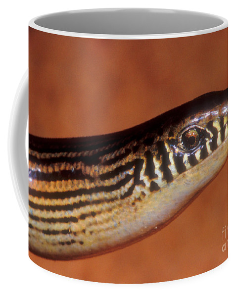 Animal Coffee Mug featuring the photograph Striped Lateral Fold Lizard by Dante Fenolio