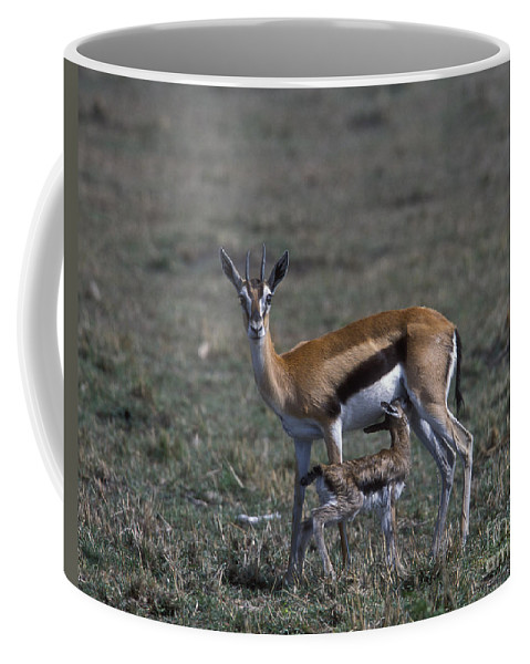 Sandra Bronstein Coffee Mug featuring the photograph Thomson Gazelle And Newborn Calf by Sandra Bronstein