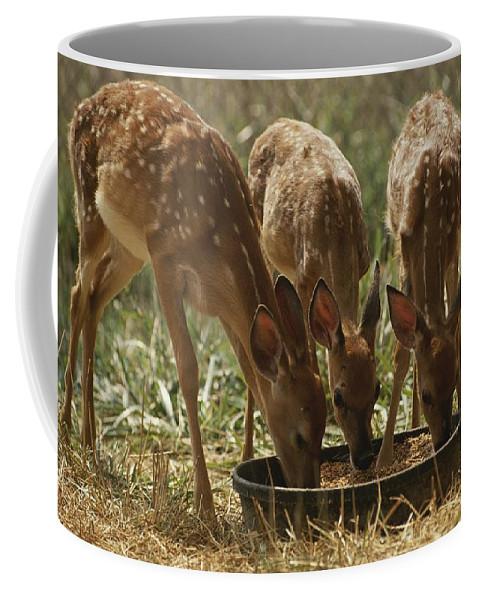 Animals Coffee Mug featuring the photograph Three White-tailed Deer Fawns by Raymond Gehman