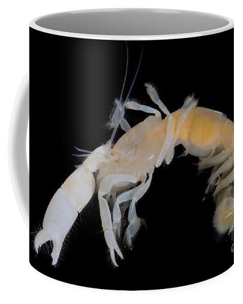 Callianassa Affinis Coffee Mug featuring the photograph Tidepool Ghost Shrimp by Dant� Fenolio