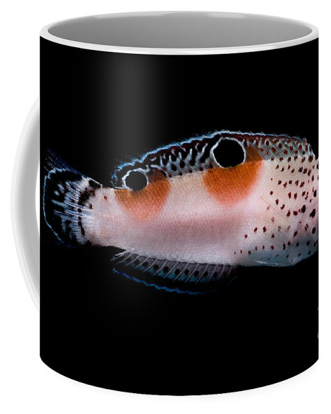 Twin Spot Wrasse Coffee Mug featuring the photograph Twin Spot Wrasse by Dant� Fenolio