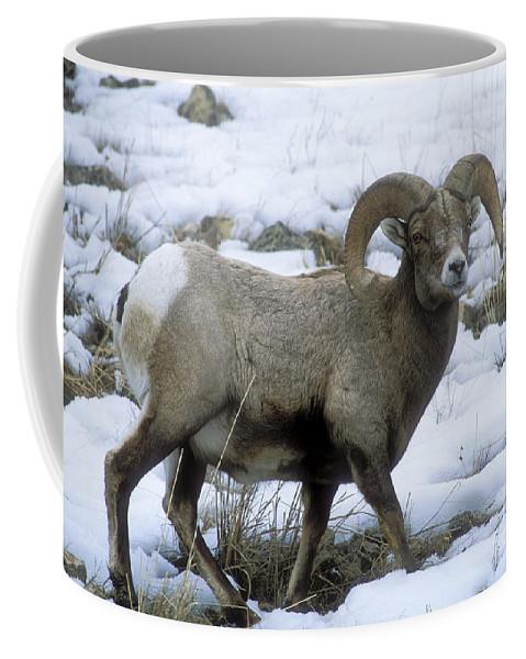 Bronstein Coffee Mug featuring the photograph Yellowstone Big Horn Sheep by Sandra Bronstein